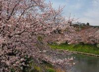 静岡県の桜の名所をご紹介!オススメのスポットはここ!