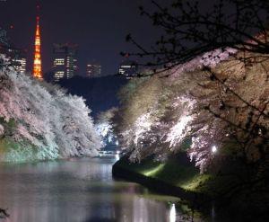 桜東京オススメスポット2015名所穴場花見