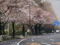 東京 桜 2015名所と穴場の公園│開花状況、満開の見頃はいつ?