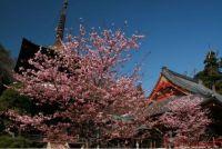 茨城の桜 オススメ名所情報2015人気ランキング上位はどこ?