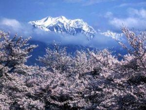 長野県桜オススメスポット穴場名所花見2015