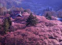 長野 桜 【高遠】ほか、有名スポットのライトアップ&駐車場情報ならこちら