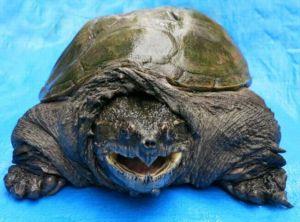 カミツキガメ噛む出没対策注意