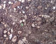 パクチーの育て方~発芽後の植え替え方法は?室内と屋外どちらが早い?