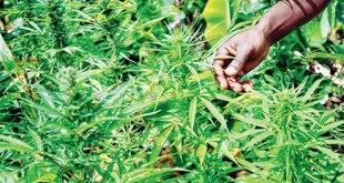 Hemp, Cannabis, Liquor Worth Rs 467.53 Cr Seized In Odisha