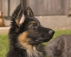 Small Of Do German Shepherds Shed