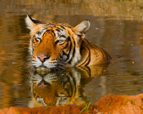 Bubbly, a tiger from Ranthambore recently relocated to Sariska