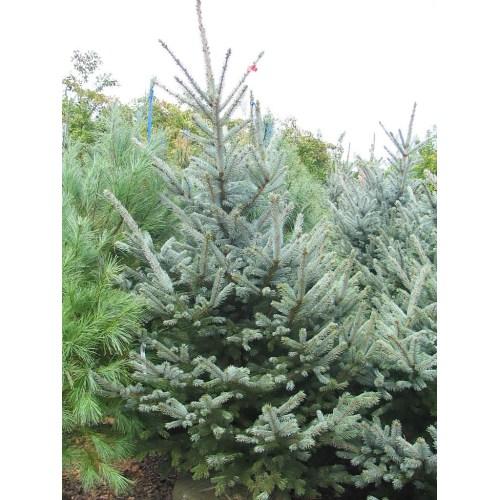 Medium Crop Of Fat Albert Spruce