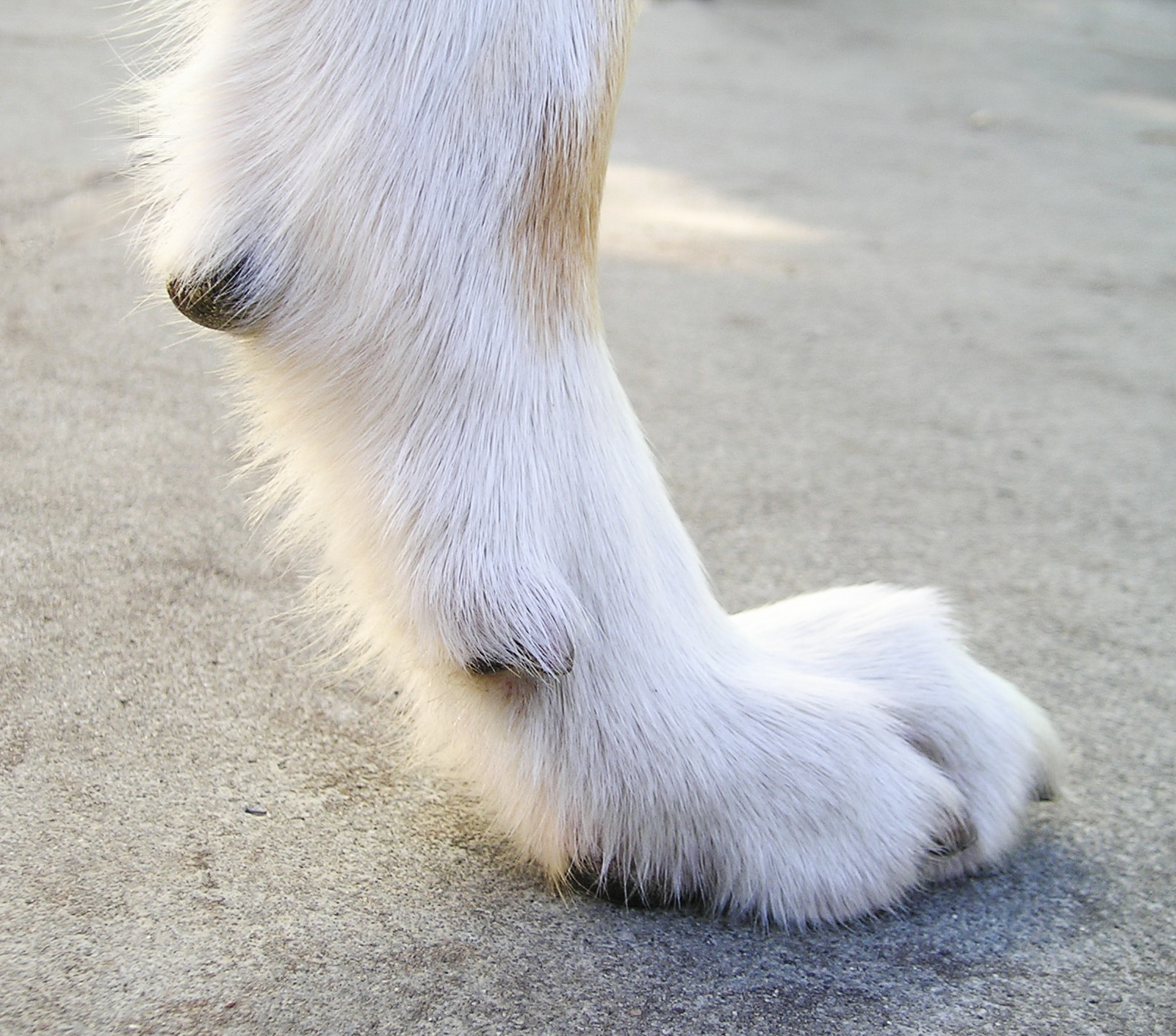 Perfect Dog Dew Claw Removing Dew A Overview Dog Dew Claw Removal Dog Dew Claw Nail Fell Off bark post Dog Dew Claw