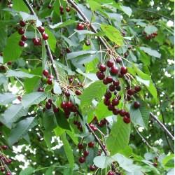 Small Crop Of Rainier Cherry Tree
