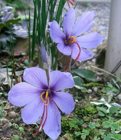 Crocus sativus - Wikipedia