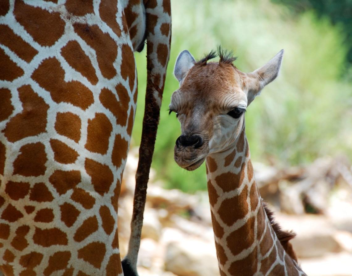 English: Baby giraffe (Giraffa camelopardalis)...