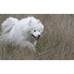 Small Crop Of Big Fluffy White Dog