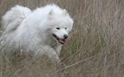 Small Of Big Fluffy White Dog