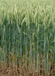 Wheat is the third most produced cereal crop