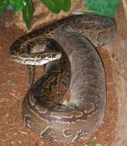 Python sebae image