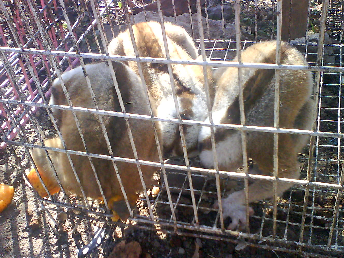 Witching Ohio Exotic Pets Kansas Market Caged Nycticebus Market Caged Nycticebus Wikimedia Commons Exotic Pets Sale Sale bark post Exotic Pets For Sale