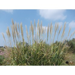 Small Crop Of Japanese Silver Grass