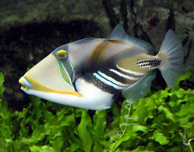 the hawaiian name for this fish is hu mu hu