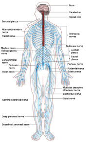 Human Nervous System Lesson Plans, Worksheets, Printables
