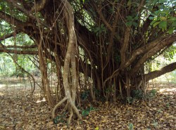 Small Of Green Island Ficus