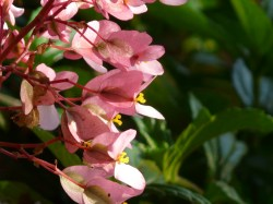 Small Of Dragon Wing Begonia