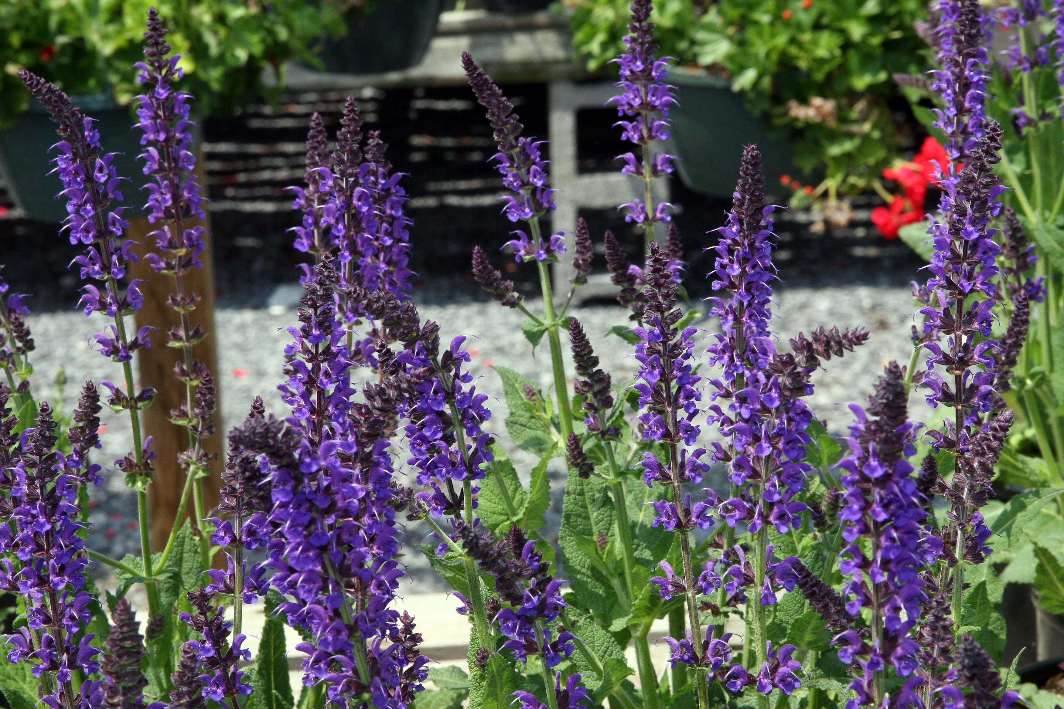 Fullsize Of May Night Salvia