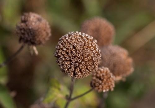 Medium Of Bee Balm Seeds