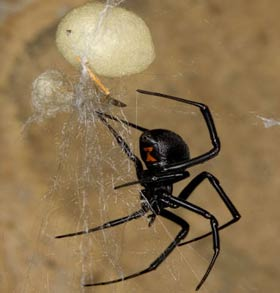 Latrodectus hesperus with egg sac