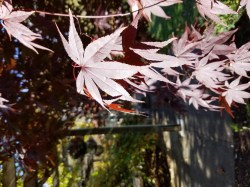 Small Of Emperor Japanese Maple