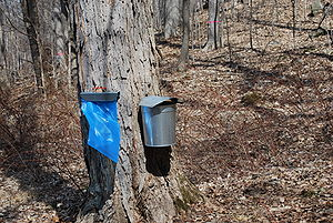 English: Maple sap collecting at Bowdoin Park ...