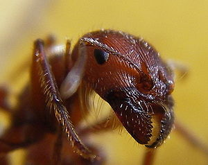 The head of an ant seen very close up.