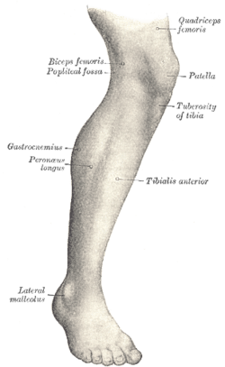 Human leg   Wikipedia Lateral aspect of right leg
