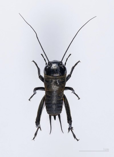 Cricket (insect) - Wikipedia