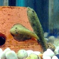 freshwater aquarium fish unique - Unique Freshwater Aquarium Fish