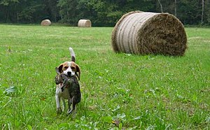Beagle retrieving rabbit