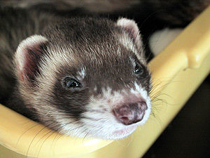 English: Ferret Português: Furão