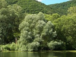 White Willow (Salix alba), Location: Riparian ...