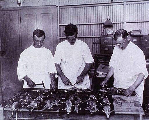 Examining Rats for Bubonic Plague New Olreans 1914 a024245