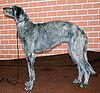 Deerhound 305.jpg