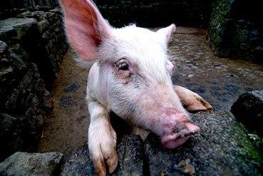 Oink oink! (2258903102)