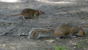 English: Eastern gray squirrel and brown rat