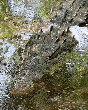American crocodile (Crocodylus acutus). This p...