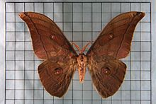 Antheraea yamamai -from silk to Mach number (5/6)