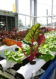 Aquaponics growing leafy greens, with chard in...