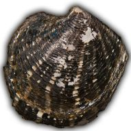 Freshwater-clam hg