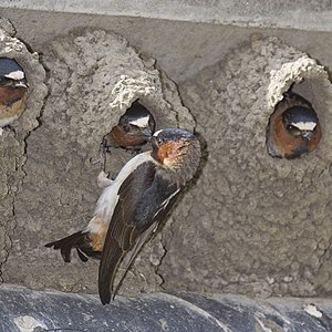 Cliff Swallows in Cayucos, California, USA. Th...