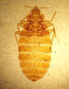 Cimex lectularius, the common bedbug, from sli...