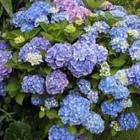 Endless Summer Hydrangeas For Northern Gardens