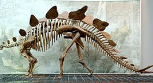 Reconstruction of a Stegosaurus skeleton in th...